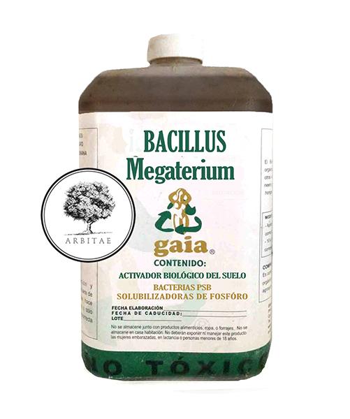 Bacillus colony morphology 1600 x 1542 237 kb jpeg megaterium